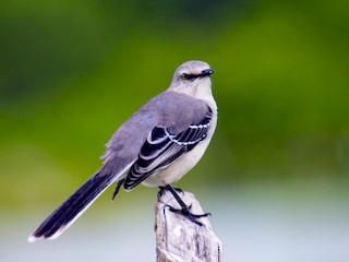 - Tropical Mockingbird