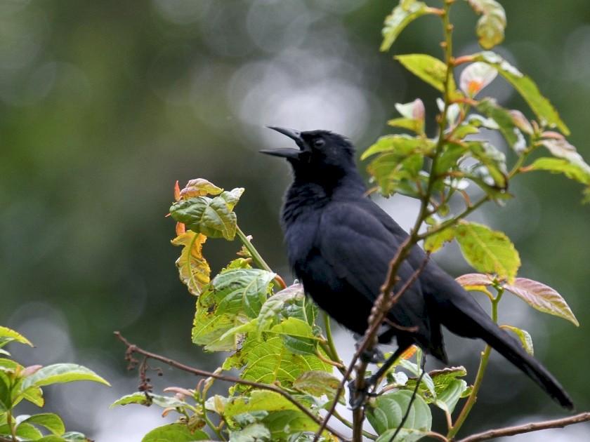 Melodious Blackbird - Maurice Raymond