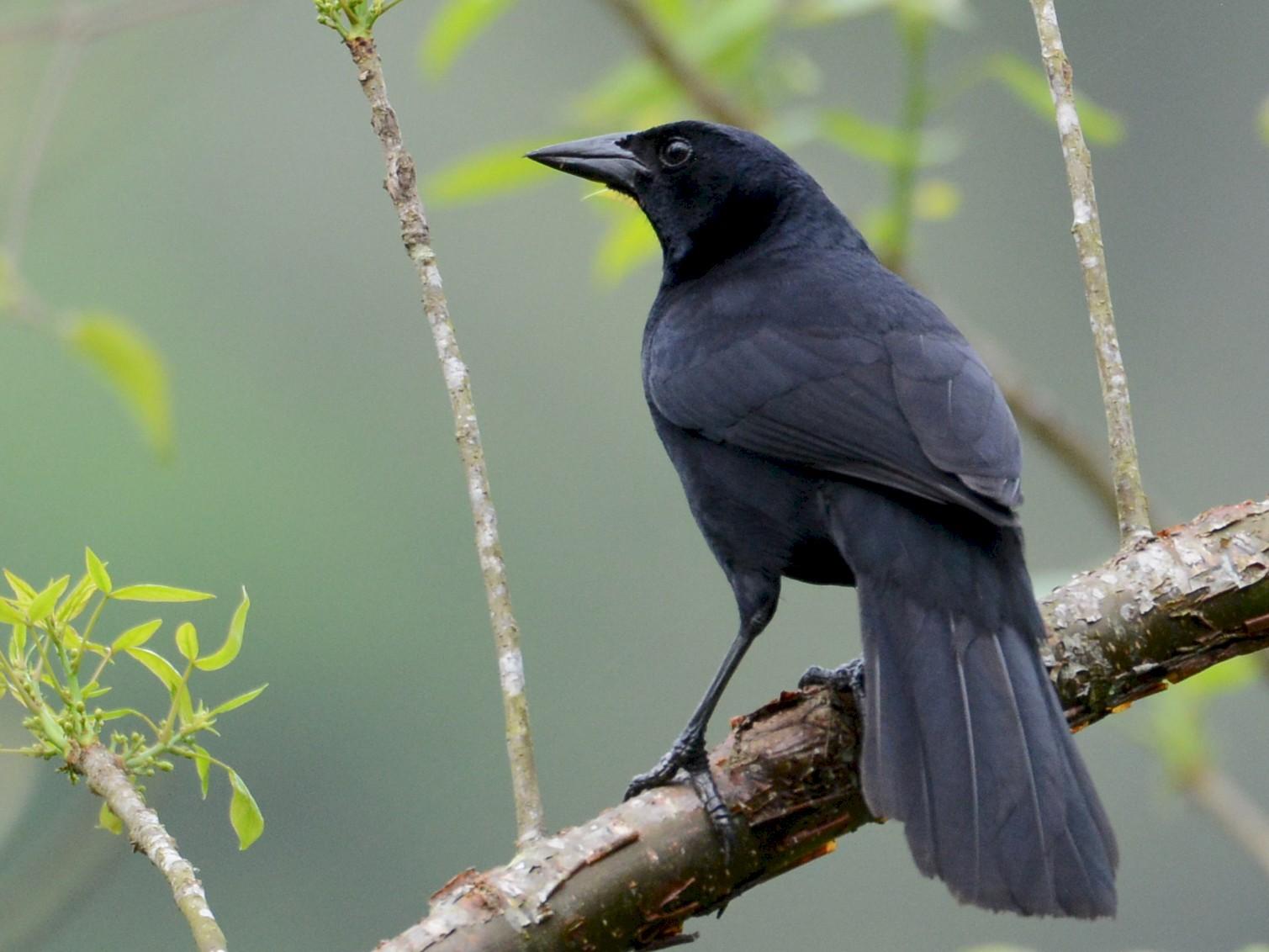 Melodious Blackbird - Alan Van Norman