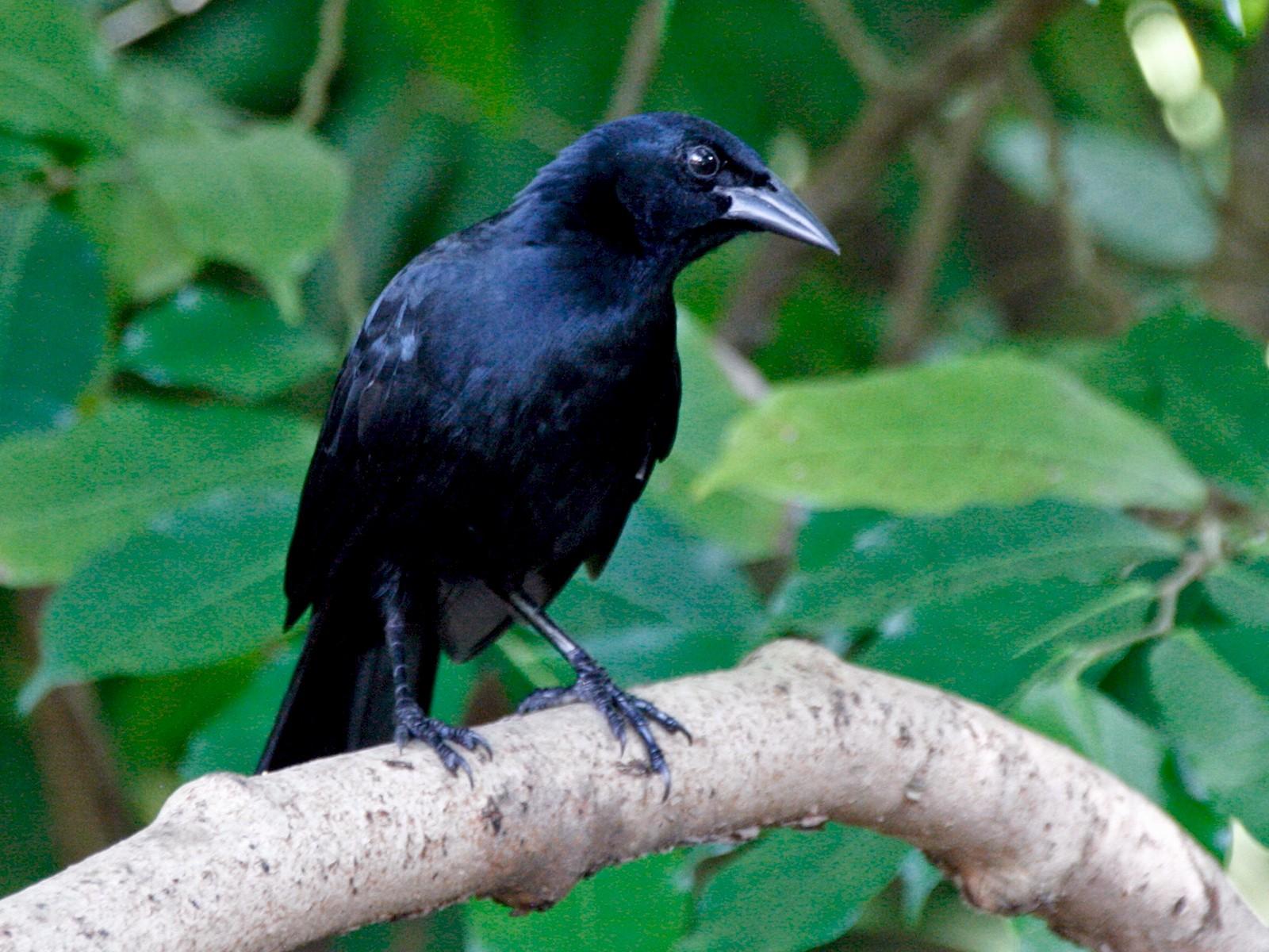 Melodious Blackbird - Lauren Solomon