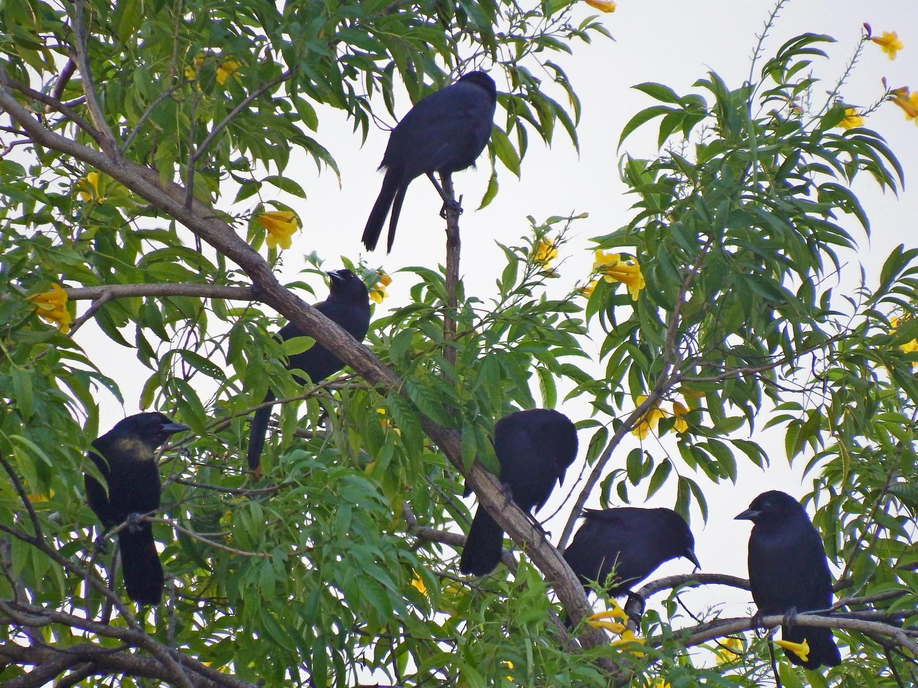 Melodious Blackbird - Gilberto Flores-Walter (Feathers Birding)