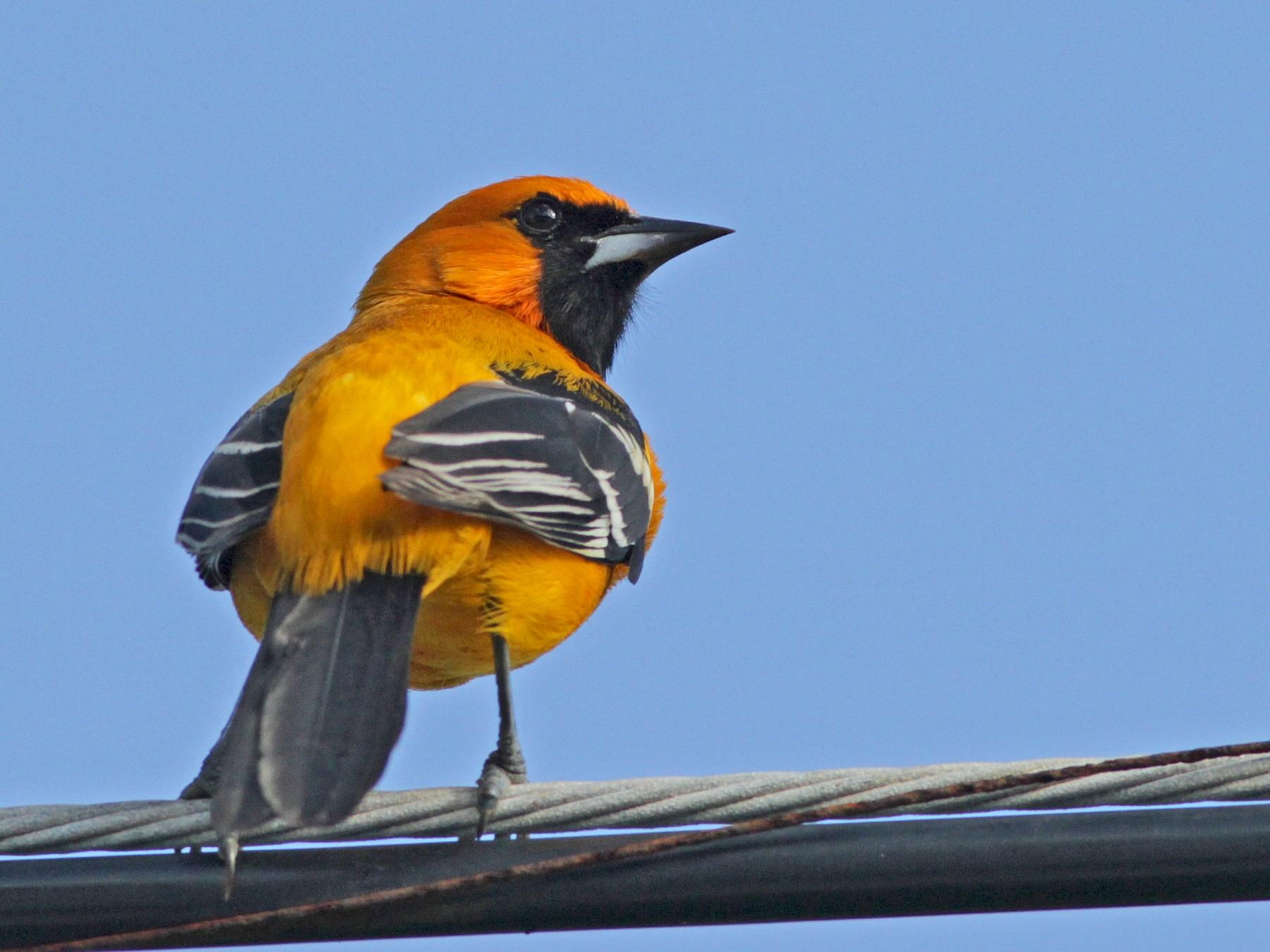 Orange Oriole - Ian Davies