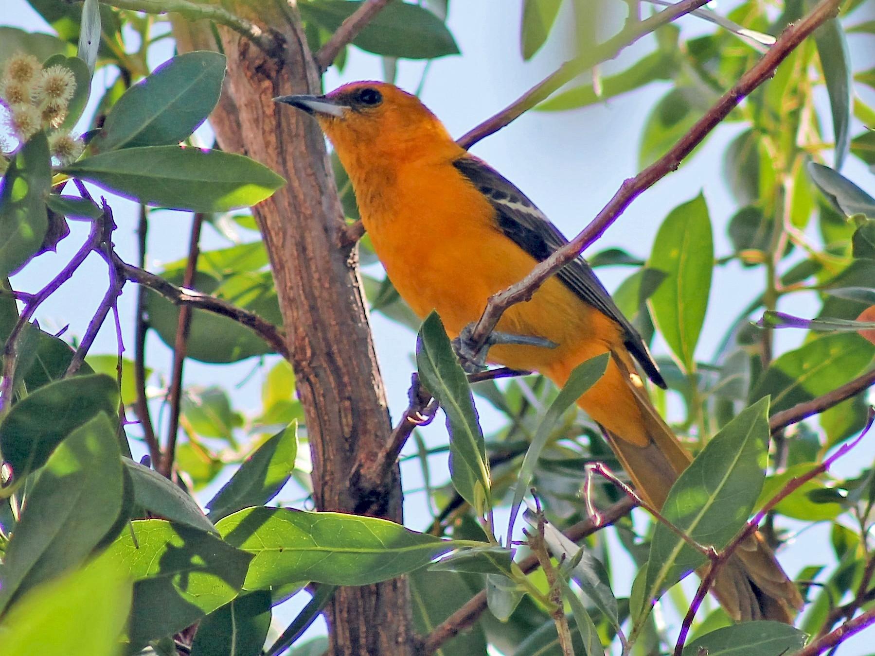 Orange Oriole - Greg Laverty