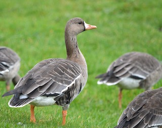Greater White-fronted Goose, ML39895291