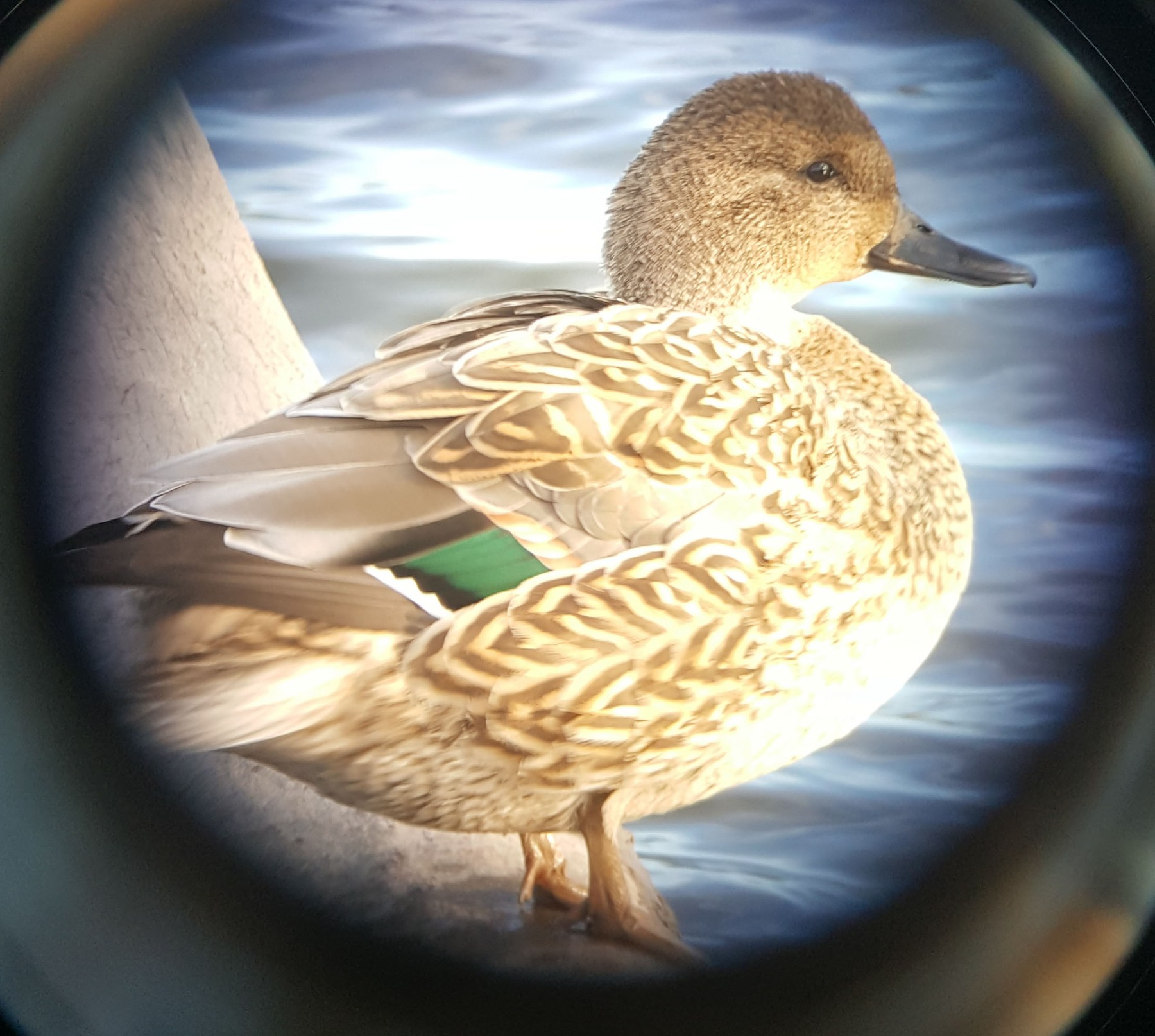 Northern Pintail x Green-winged Teal (hybrid) - Tom Forwood JR