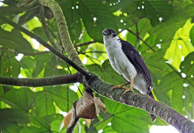 Collared Forest-Falcon