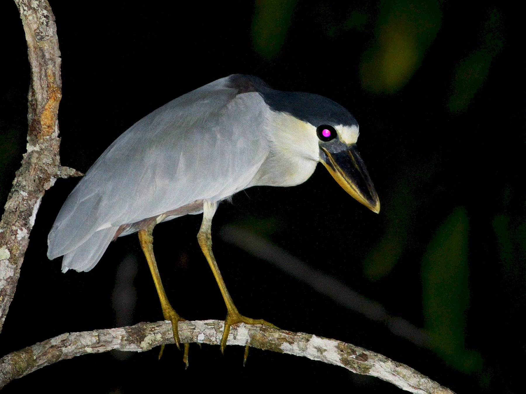 Boat-billed Heron - Andrew Spencer