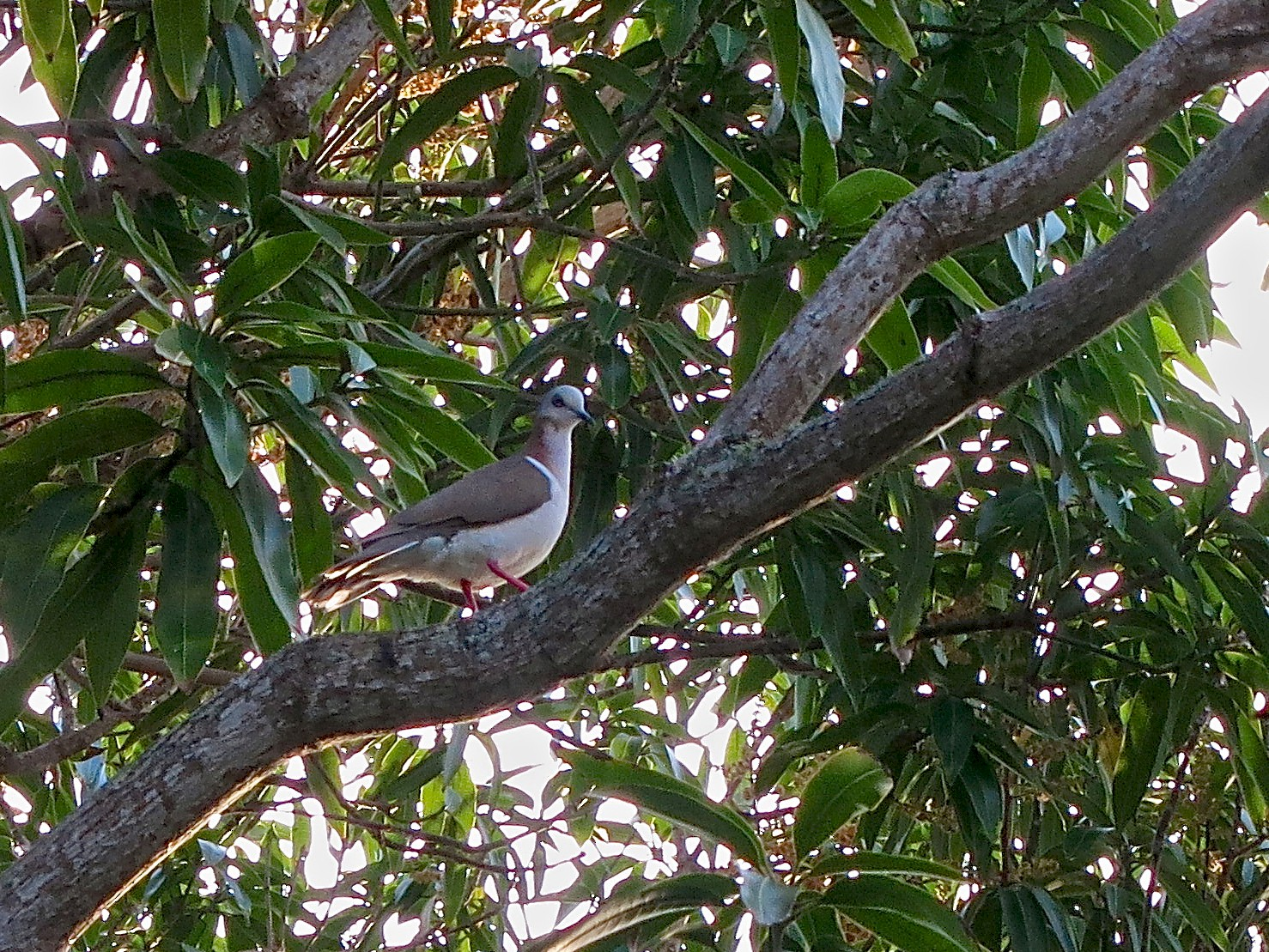 Caribbean Dove - Pavia Antonas