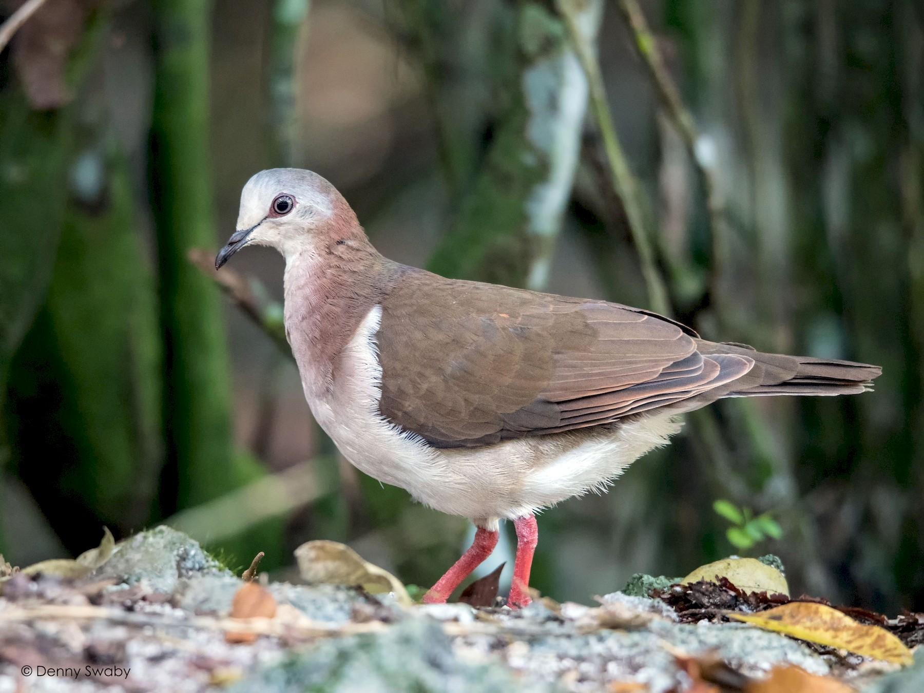 Caribbean Dove - Denny Swaby