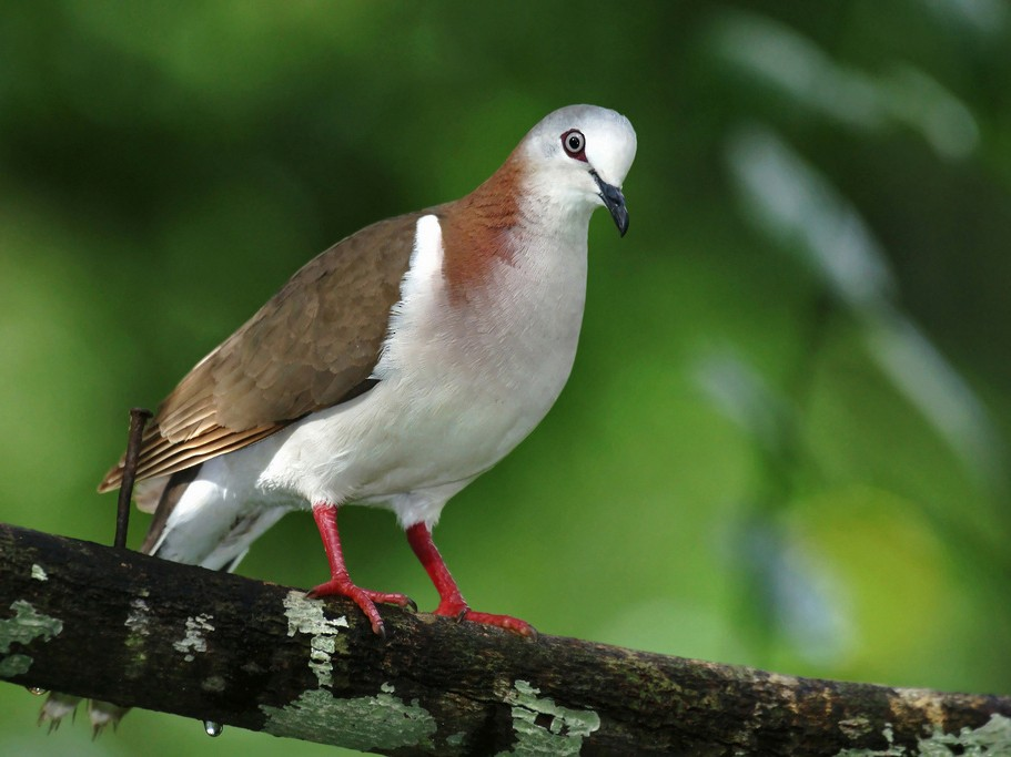 Caribbean Dove - David Irving