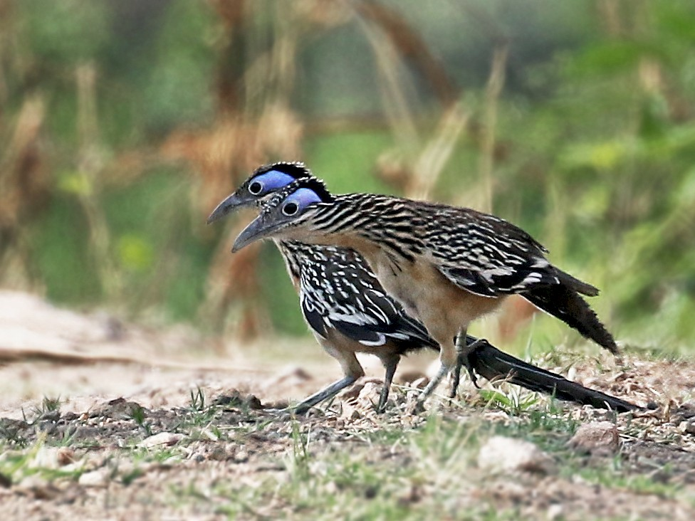 Lesser Roadrunner - Andrew Spencer