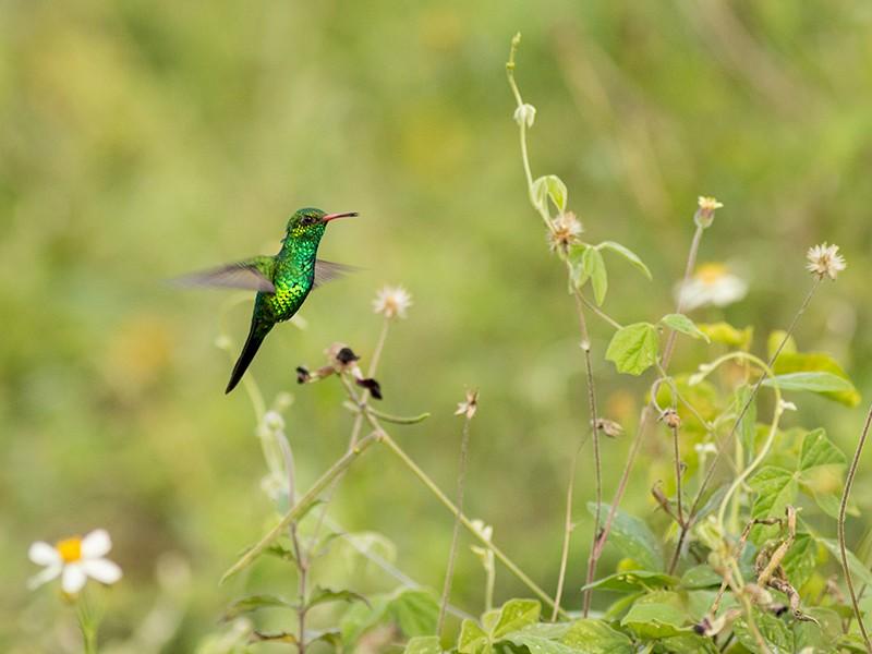 Canivet's Emerald - Aves de la Laguna