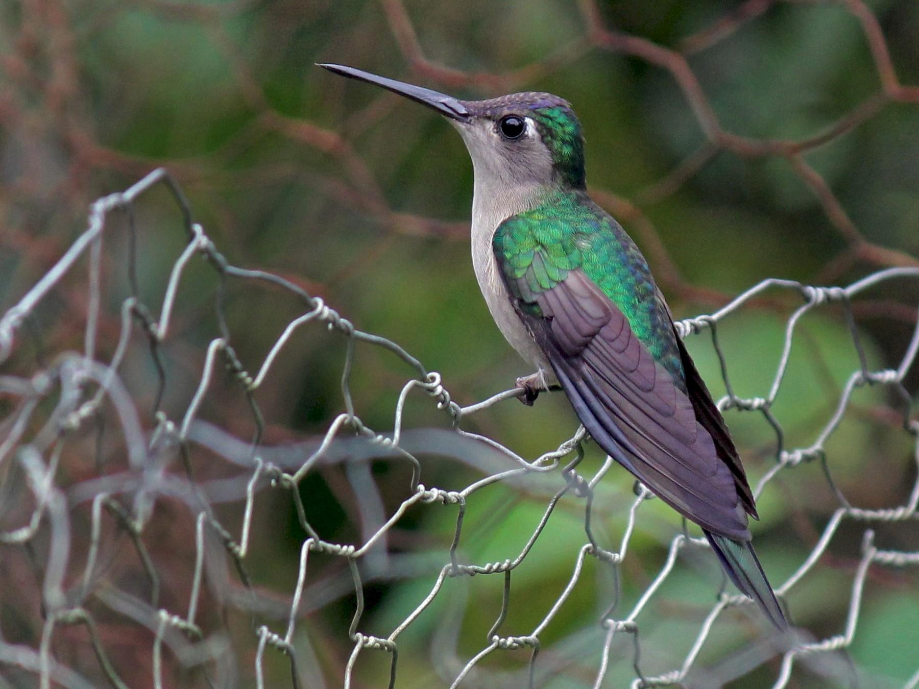 Wedge-tailed Sabrewing - Charles Gates