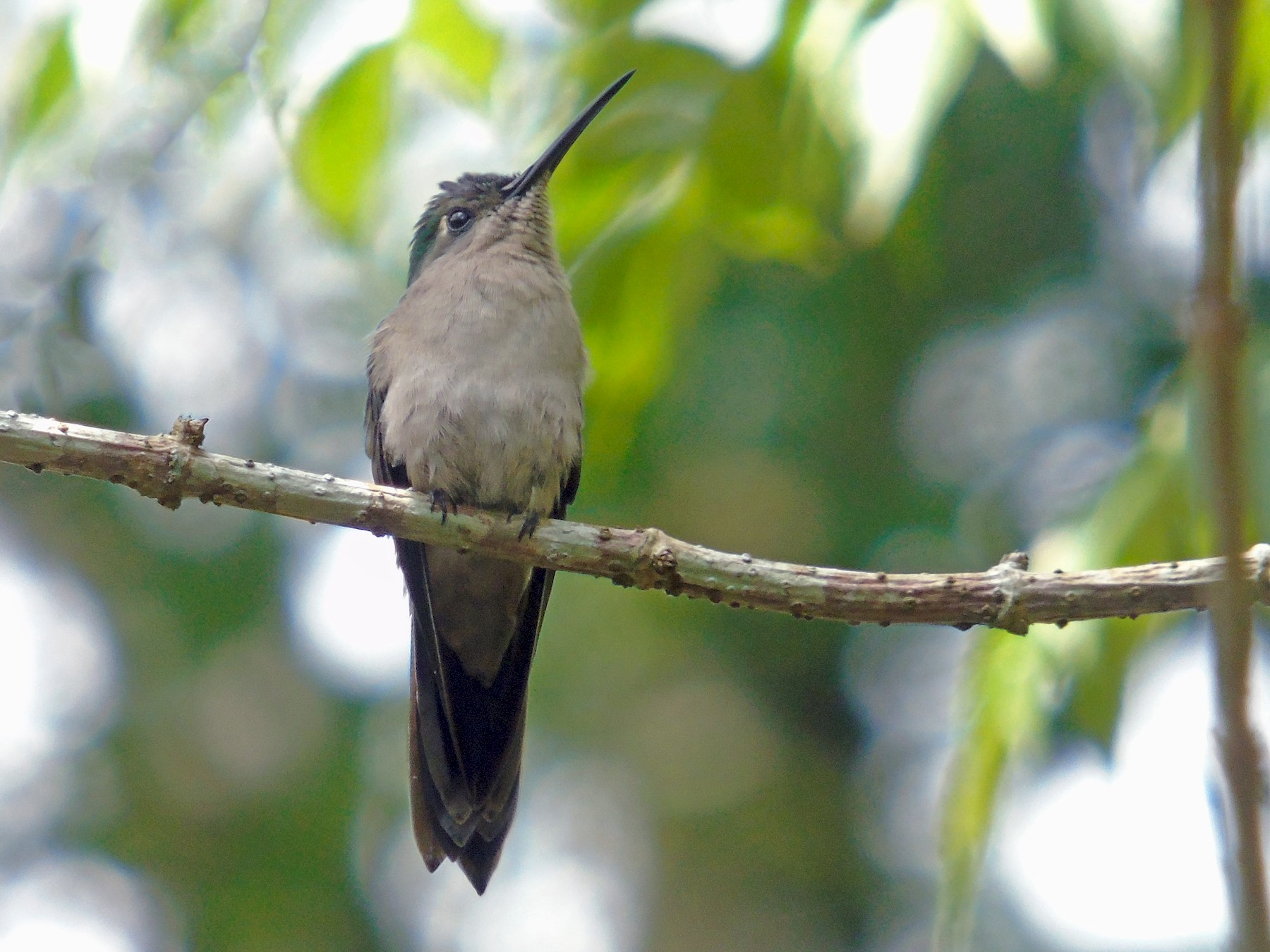 Wedge-tailed Sabrewing - M. A. Noack
