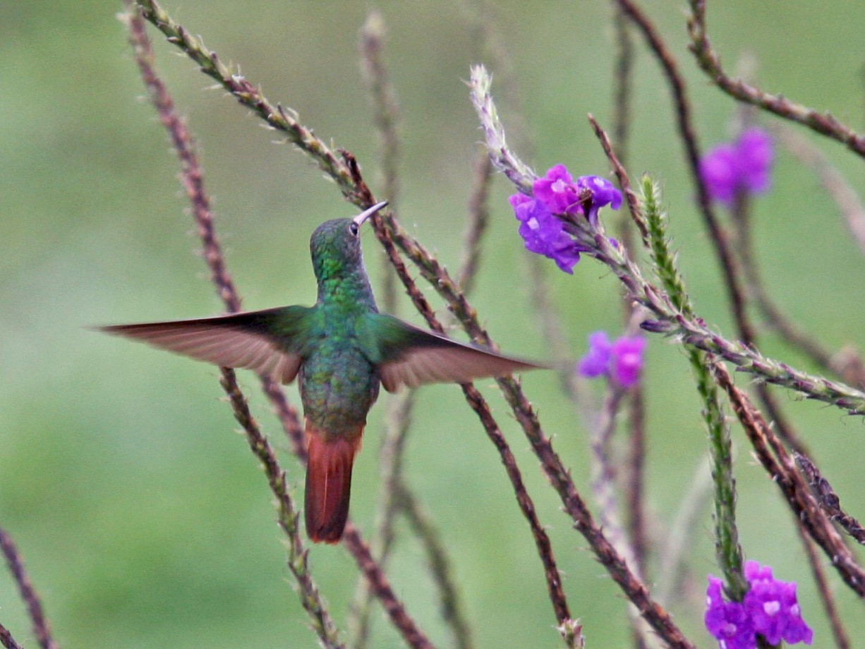 Rufous-tailed Hummingbird - Brooke Miller