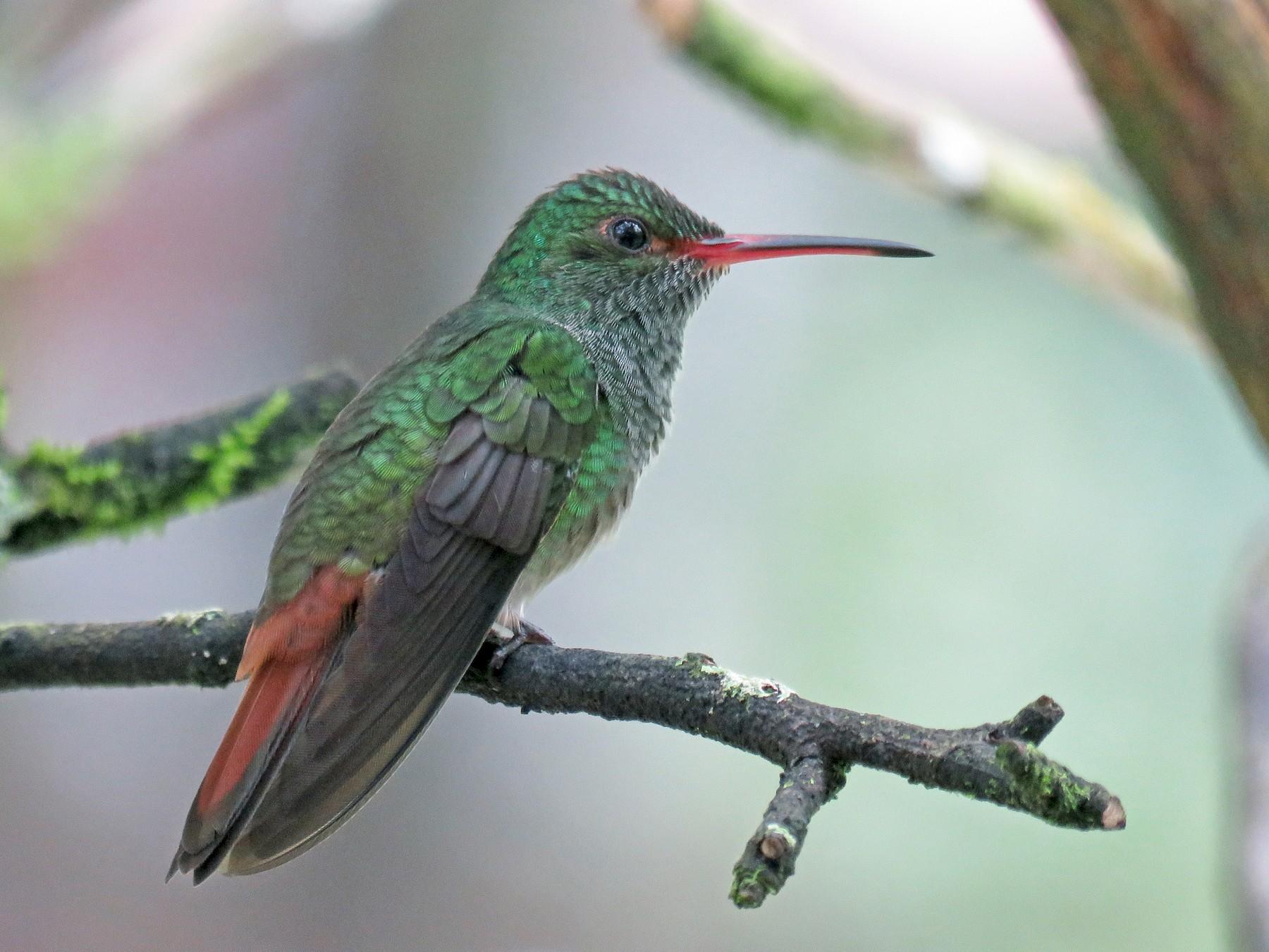 Rufous-tailed Hummingbird - John van Dort