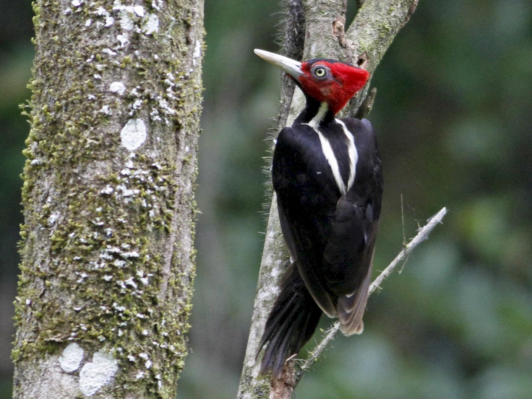 Pale-billed Woodpecker - John Fitzpatrick