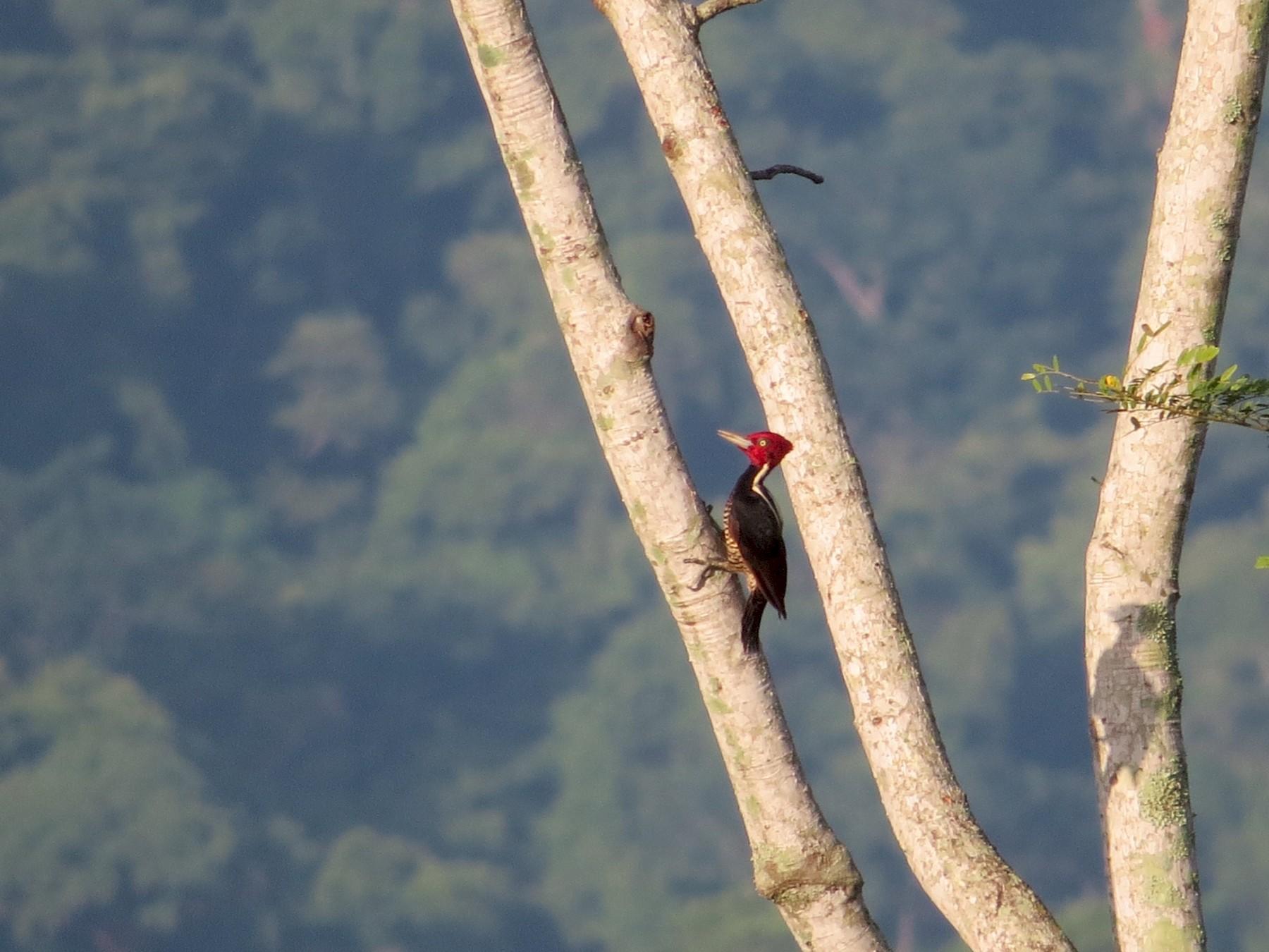 Pale-billed Woodpecker - Dallas Levey