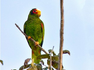 - Yellow-lored Parrot