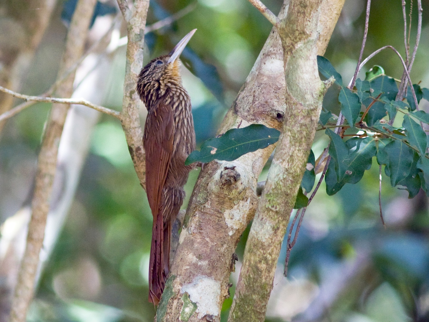 Ivory-billed Woodcreeper - David Disher