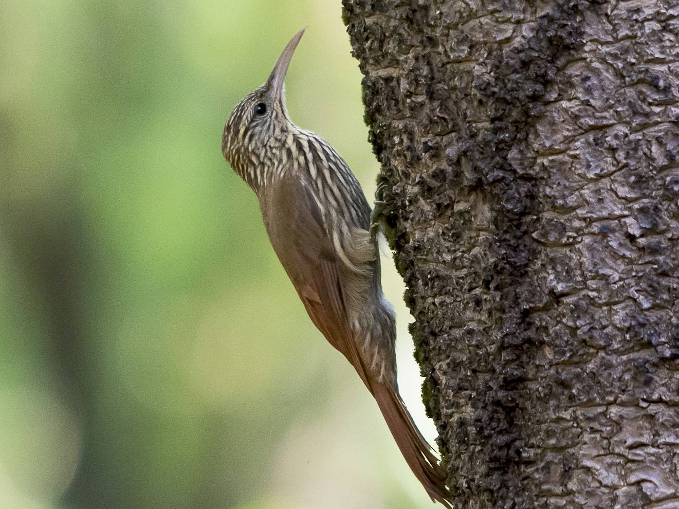 Streak-headed Woodcreeper - Jerome Foster