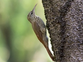 - Streak-headed Woodcreeper