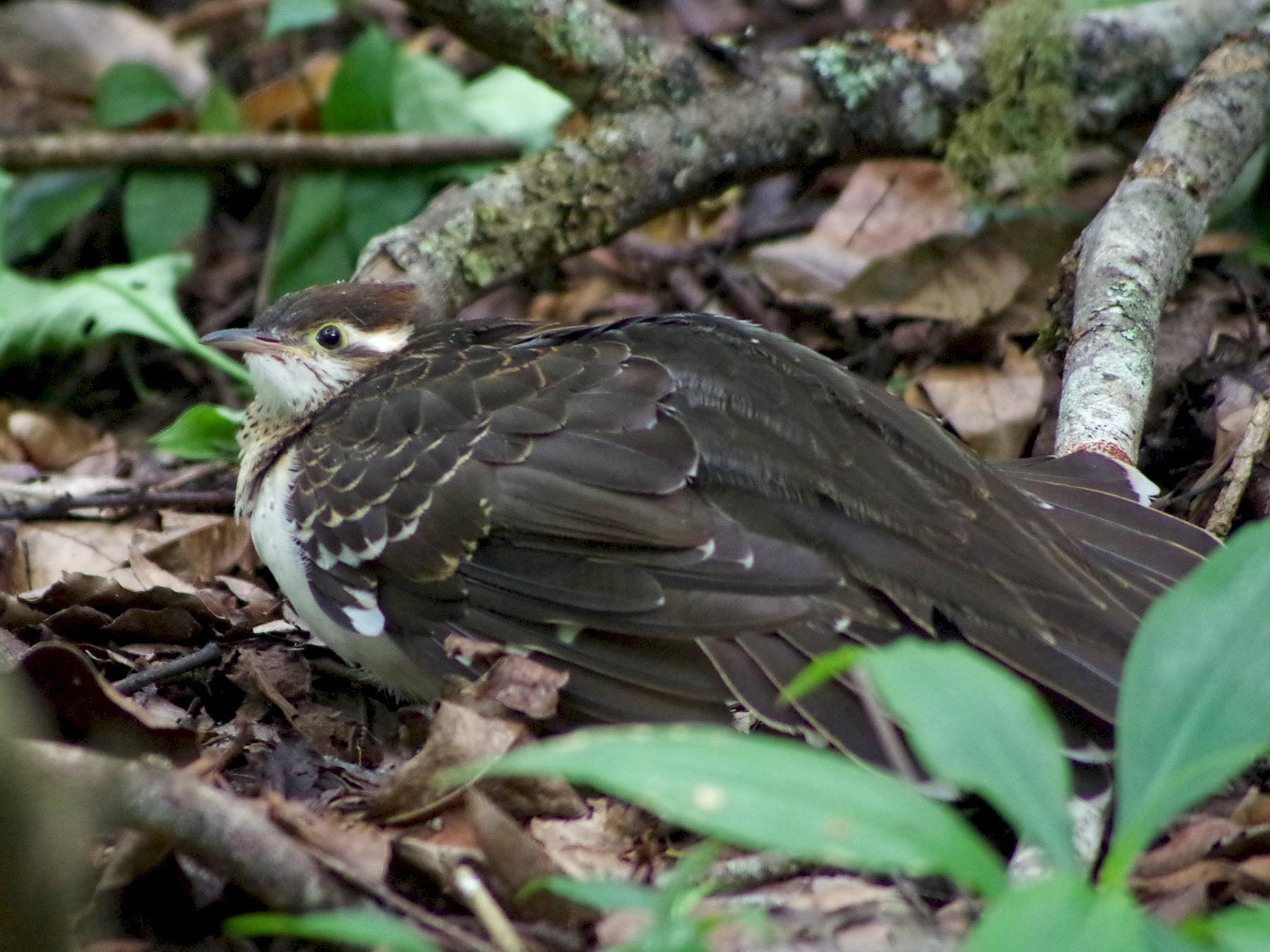 Pheasant Cuckoo - Daniel Néron