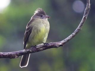 - Yellow-bellied Elaenia