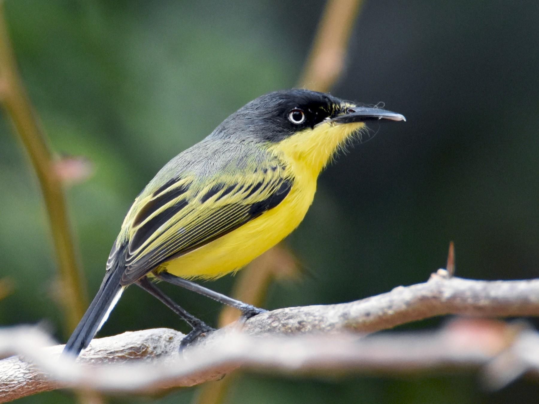 Common Tody-Flycatcher - Luke Berg
