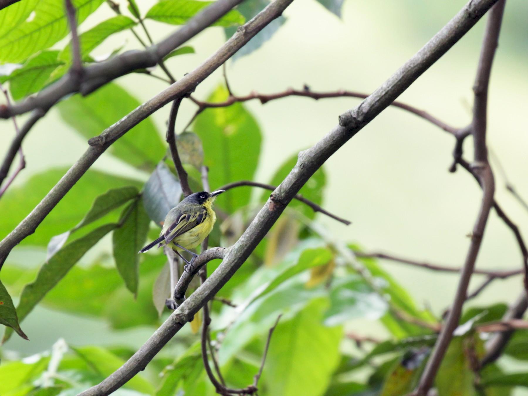 Common Tody-Flycatcher - Doug Korver