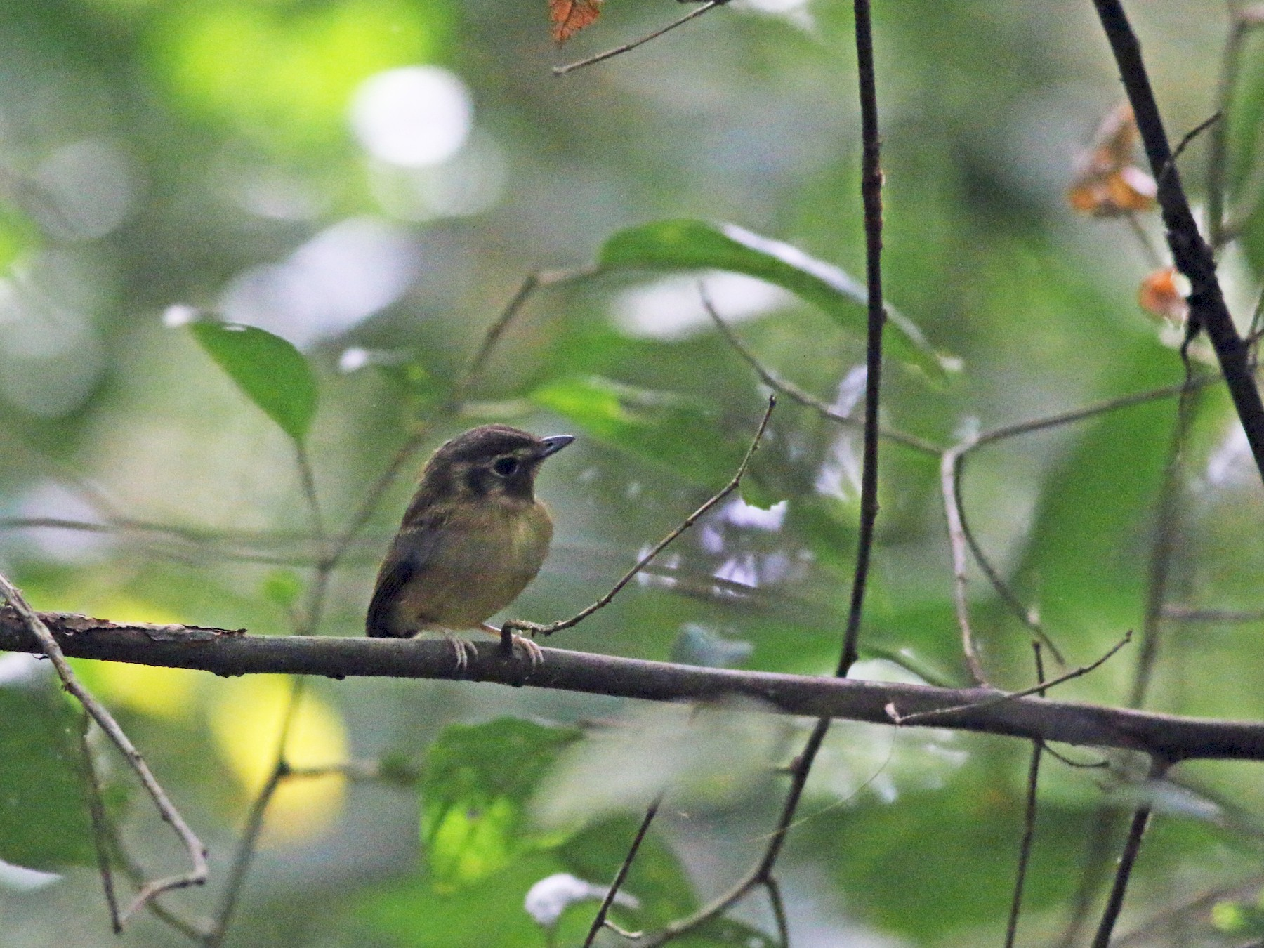 Stub-tailed Spadebill - Johnathan Hruska