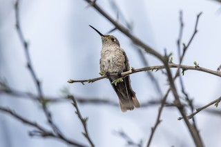- Spot-throated Hummingbird