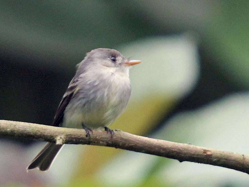 Tropical Pewee - Corrie Winter