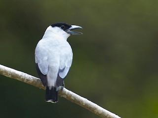 - Black-crowned Tityra