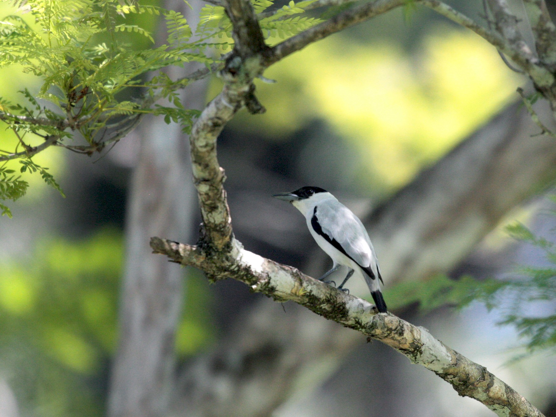 Black-crowned Tityra - Corey Callaghan