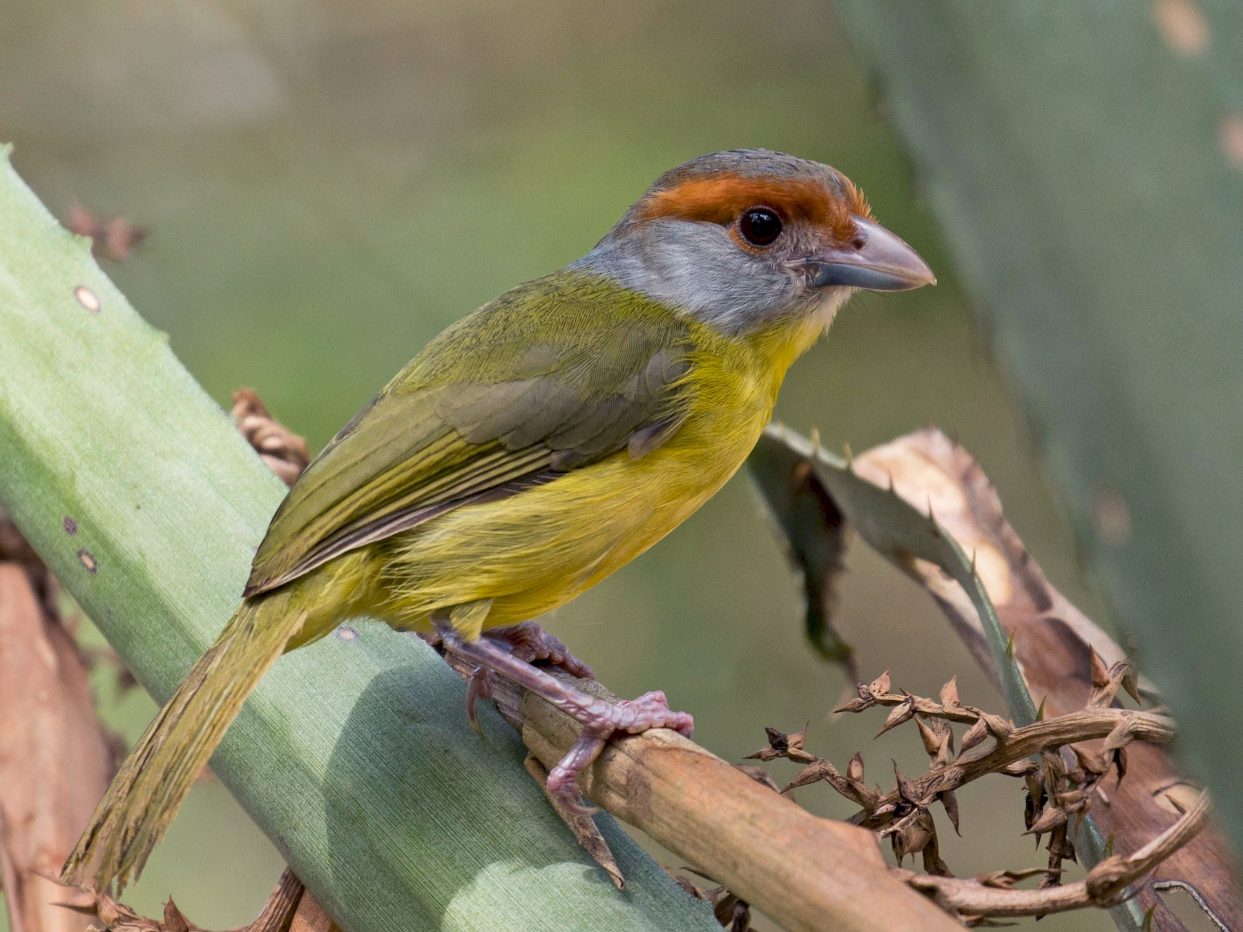 Rufous-browed Peppershrike - Patrick VanThull
