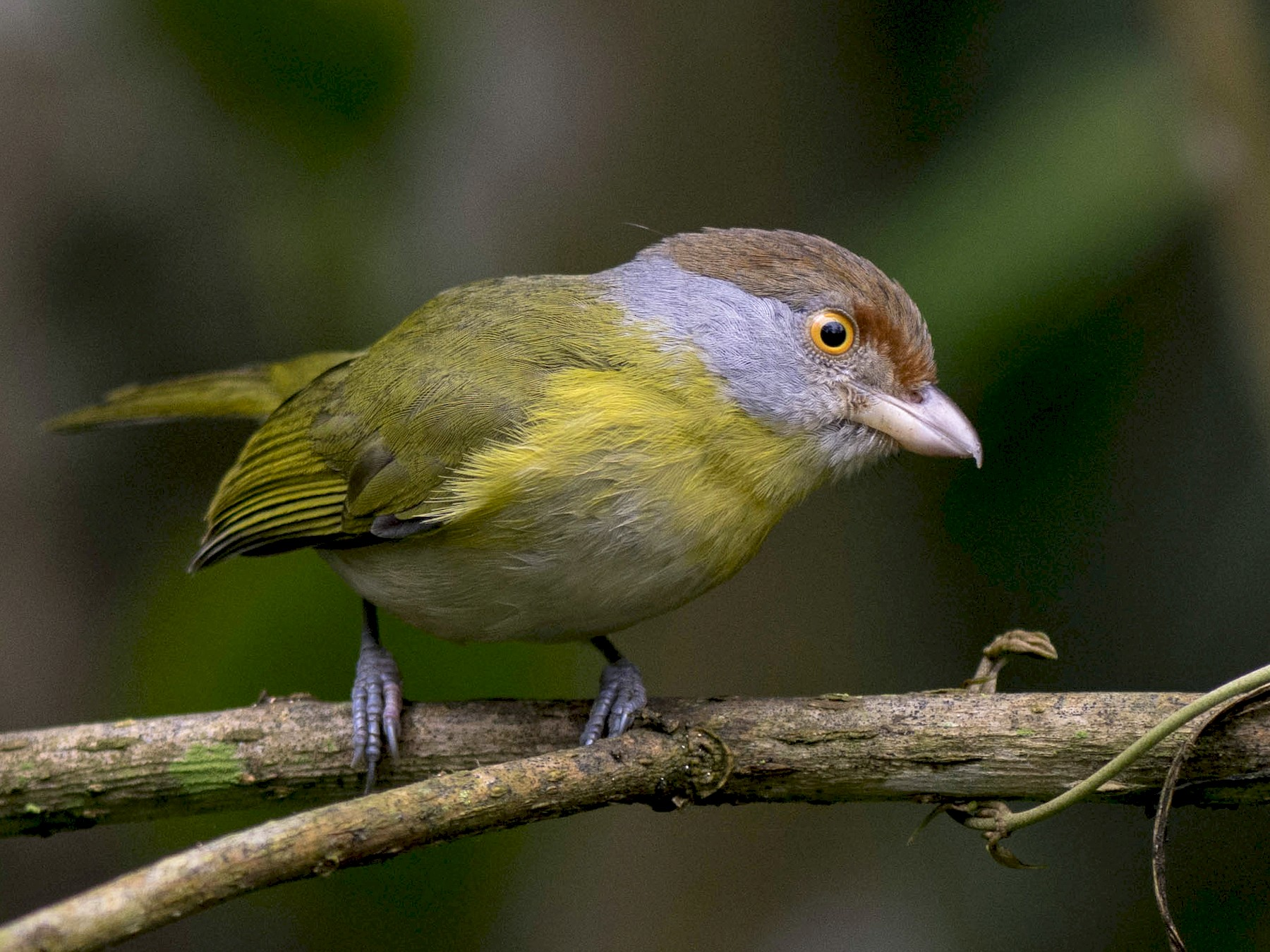 Rufous-browed Peppershrike - Hudson - BirdsRio