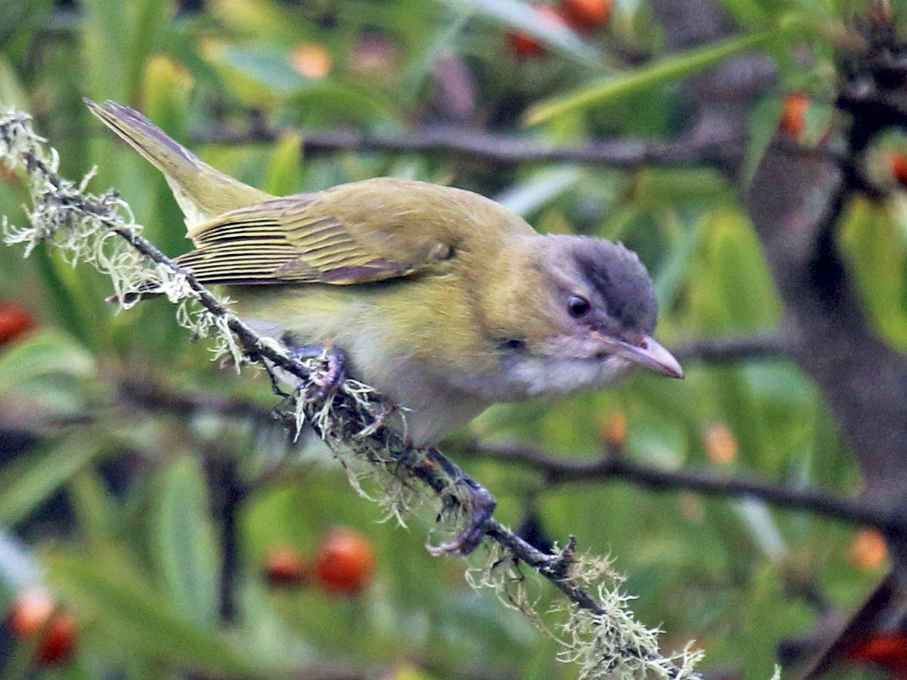 Yellow-green Vireo - Mark Dettling