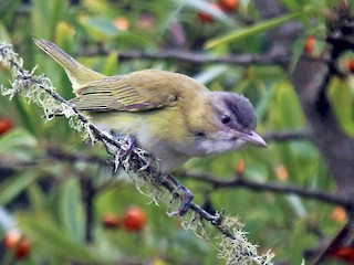 - Yellow-green Vireo