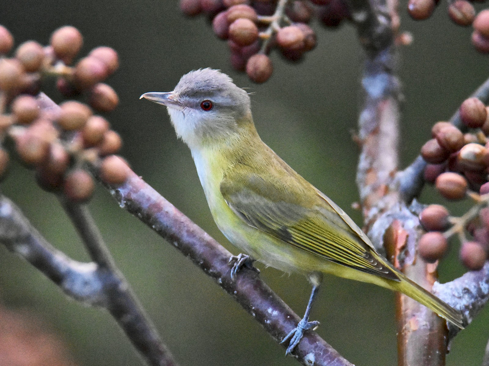 Yellow-green Vireo - Luke Berg