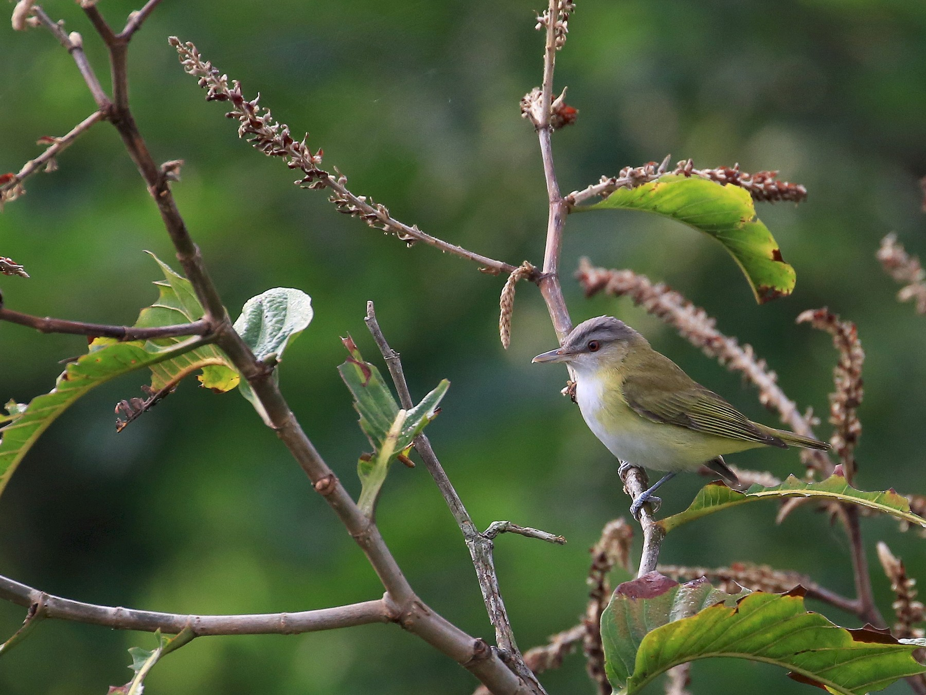 Yellow-green Vireo - Tim Lenz