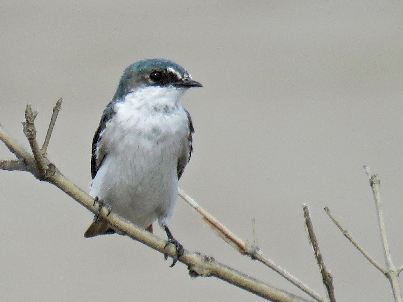 Mangrove Swallow - John van Dort