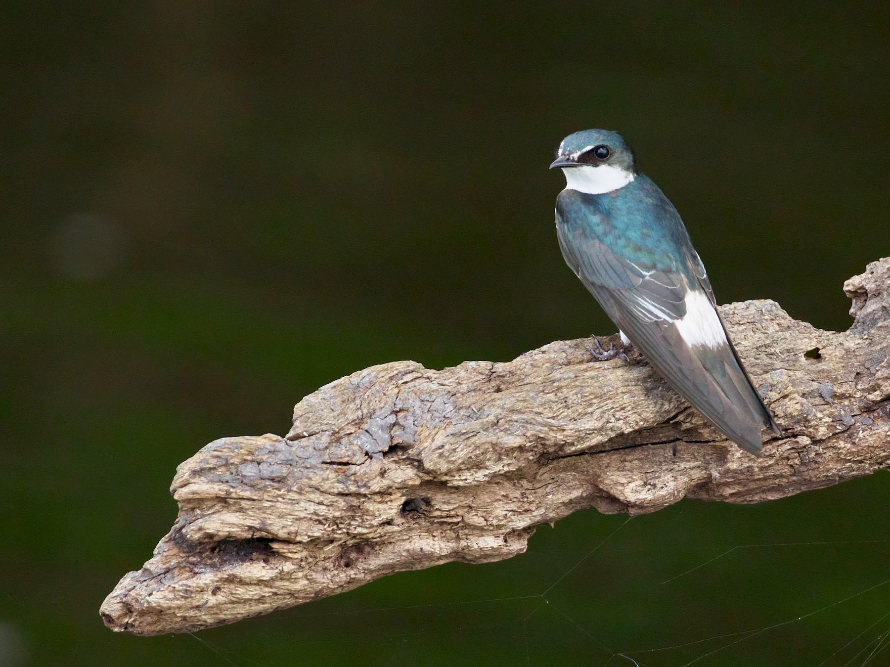 Mangrove Swallow - Paul Tavares