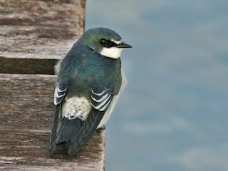 - Mangrove Swallow