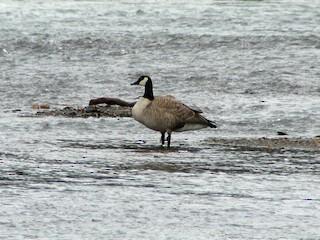 Canada Goose, ML40226701