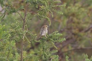 - Arabian Golden Sparrow