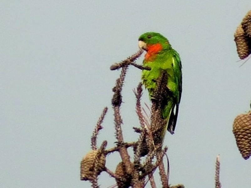 Green Parakeet - Oliver  Komar
