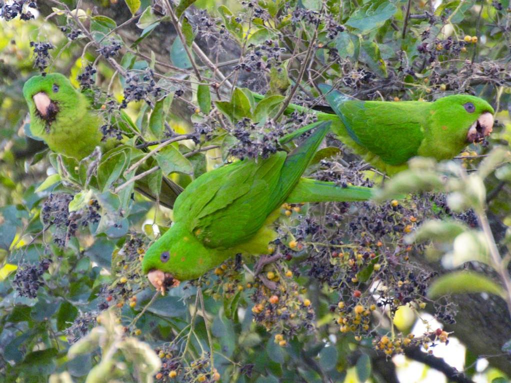 Green Parakeet - Aaron Marshall
