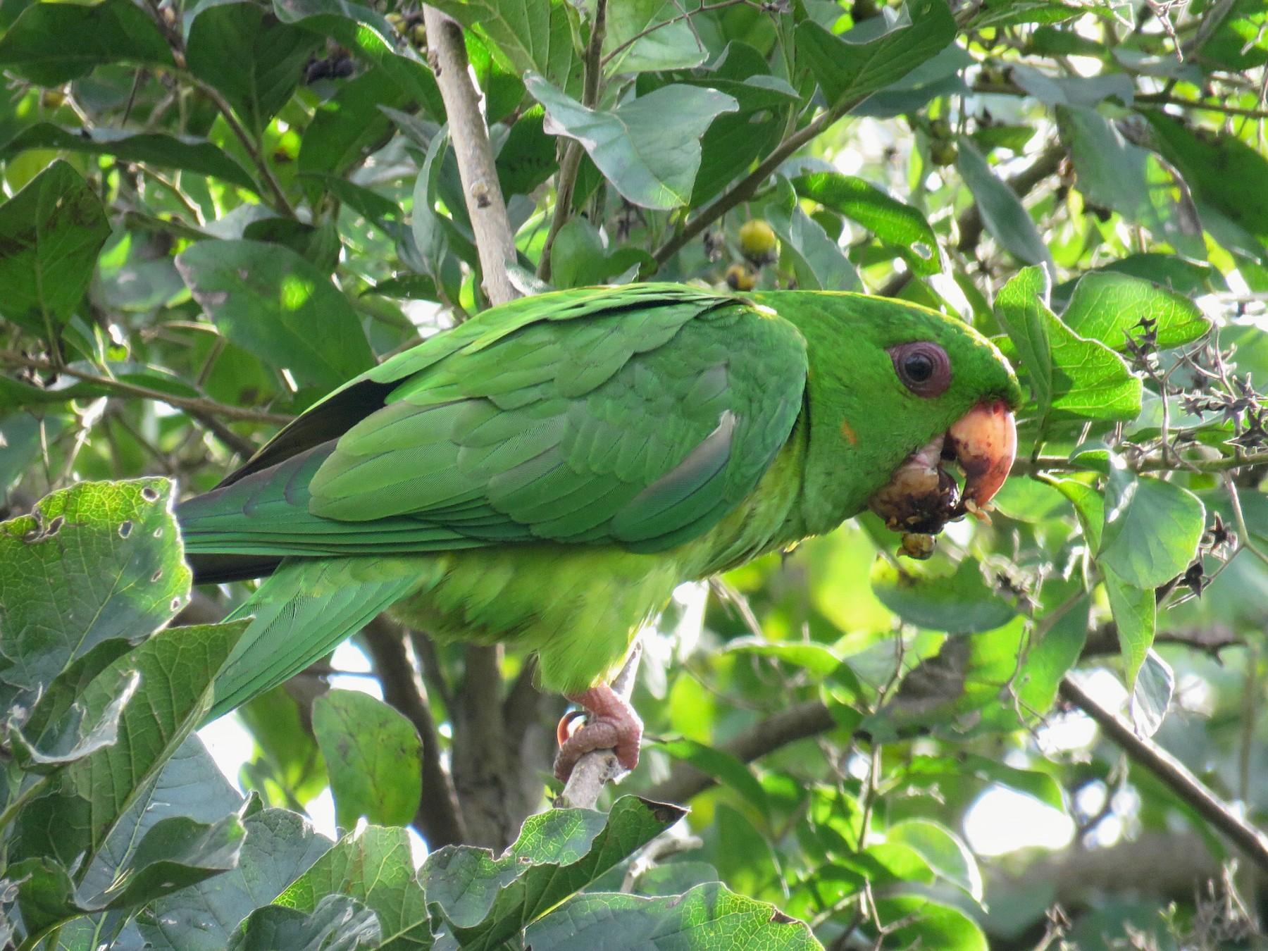 Green Parakeet - Lisa Cancade Hackett