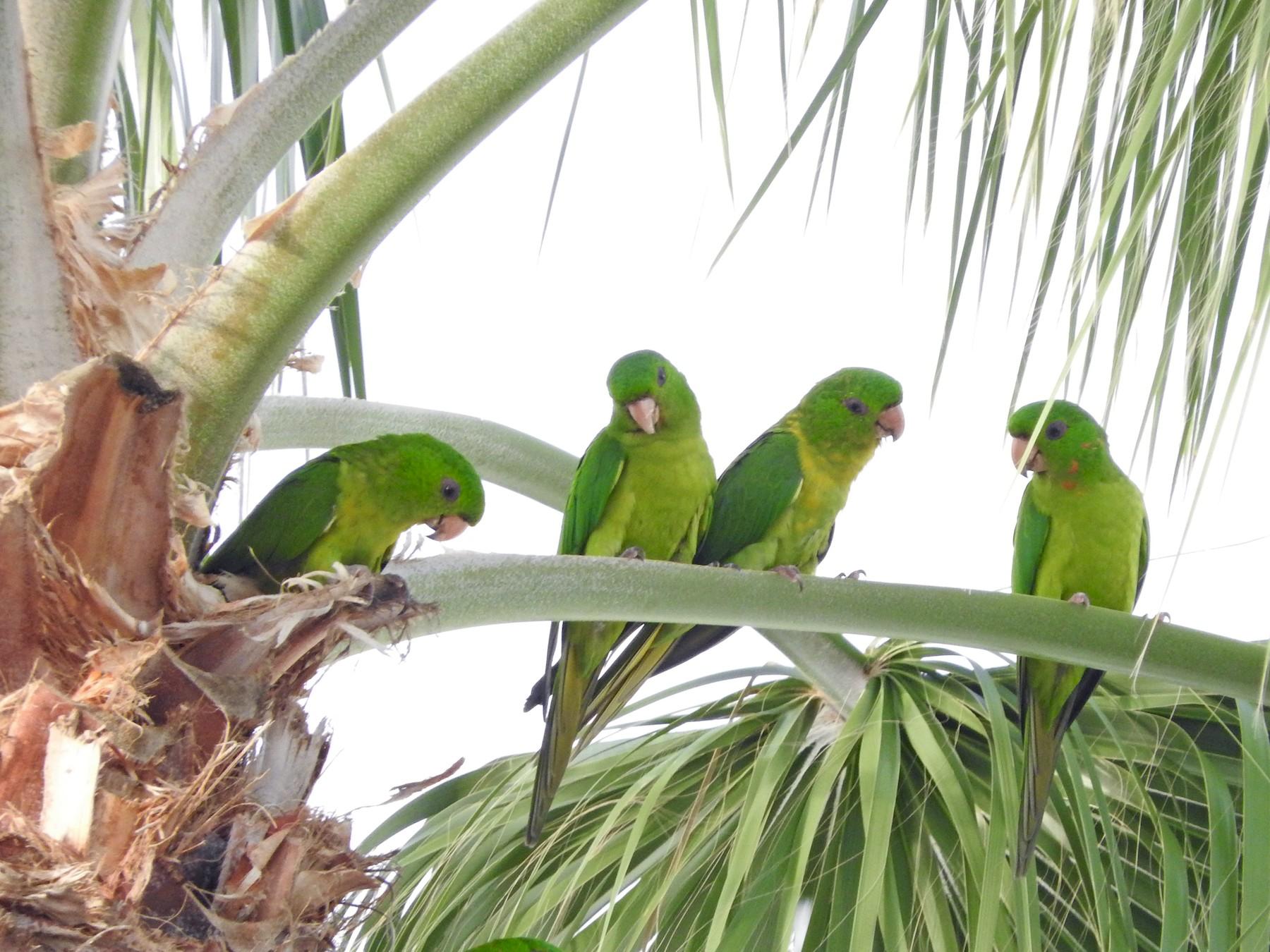 Green Parakeet - Lance Runion